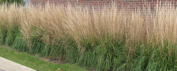 feather reed grass karl foerster plant of the week