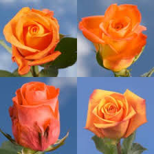 global roses the i m sorry flower apologizing with roses global