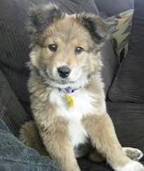 australian shepherd and husky mix if i could steal this australian shepherd i would i would put him