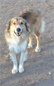 australian shepherd collie mix 5 things that u0027ll make you happy from around the web english