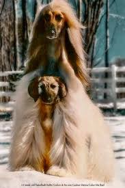 afghan hound blonde this photographer makes dogs look like breathtaking runway models