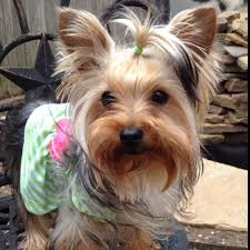 silky terrier with haircut 50 damn cute yorkie haircuts for your puppy hairstylec