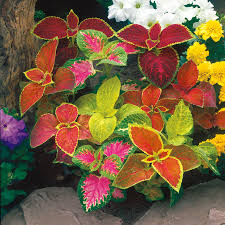 wizard mix coleus seeds from park seed
