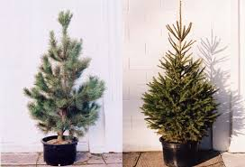 live christmas trees for sale potted tree potted christmas tree living tree inhabitat