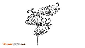 Sweet Pea Images Flower - sweet pea flower drawing floweroutline com