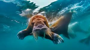 walrus swimming in the arctic ocean fabrice simon corbis 1