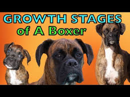 1 year old boxer dog the growing stages of a boxer 2 months 2 years brock the boxer
