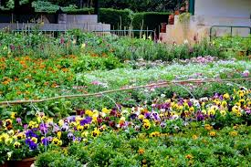 Smiley Flowers - smiley flowers picture of botanical gardens ooty tripadvisor