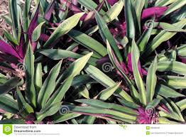 beautiful green and purple plant royalty free stock images image