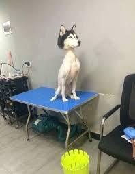 Husky Meme - shaved husky dogs know your meme