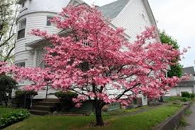 pink dogwood trees for sale lowest prices save 80 buy