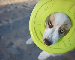 australian shepherd frisbee free images beach nature outdoor sand puppy animal canine