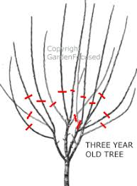 how to prune plum trees gardenfocused co uk