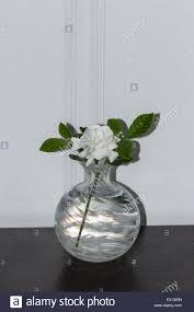gardenia flower gardenia jasminoides in a vase blooms in spring