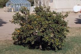 When Does A Lemon Tree Produce Fruit - lemon lime orange tangerine grapefruit fruit crops