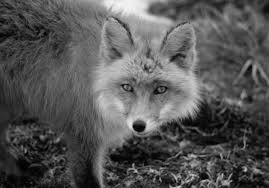 Fox In The Barn Fox Attacks Oconee Man Trapped Under 4 Wheeler Holds Fox By Neck