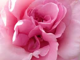 Rose Petals Rose Petals Free Stock Photos Download 2 873 Free Stock Photos