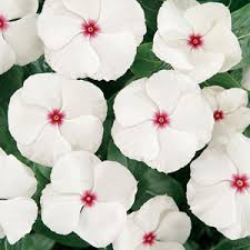 vinca flowers vinca periwinkle seeds from around the world