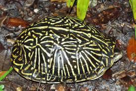 florida box turtle terrapene carolina bauri family emydidae