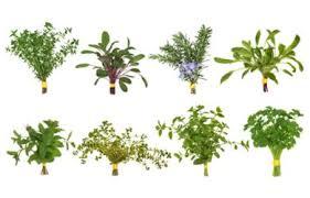 herbe cuisine cuisine aromatique conseils cuisine cuisine aromatique