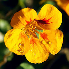 nasturtium flowers nasturtium flowers pictures meanings of the nasturtium flower