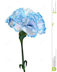 blue carnations blue tipped carnation darker blue possible tattoo