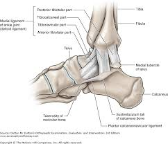 Os Calcaneus Chapter 21 The Ankle And Foot Dutton U0027s Orthopaedic Examination