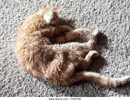 Cats Paw Rug Cat On Rug Stock Photos U0026 Cat On Rug Stock Images Alamy