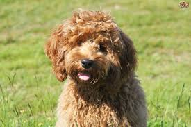 cockapoo vs bichon frise cockapoo dog breed information buying advice photos and facts