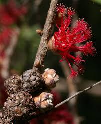Brisbane Botanic Gardens Mount Coot Tha by Flickr Photos Tagged Asteromyrtus Picssr
