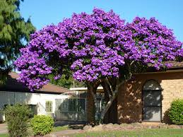tree with purple flowers color of australia trees and flowers