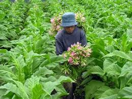 500 pcs farm and family garden flowers plant tobacco seed and