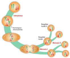 sexual reproduction meiosis and gametogenesis ck 12 foundation