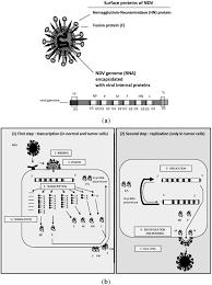 biology free full text oncolytic newcastle disease virus as