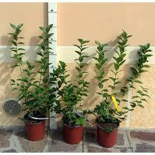 mirtillo in vaso mirtillo gigante vendita piante solopiante it