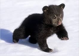 baby bear pictures cubs pictures pictures bears howstuffworks