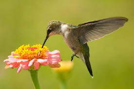 hummingbird flowers hummingbird pictures with flowers hummingbirds mba degree info