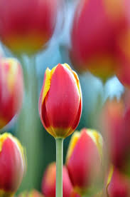 1318 best tulips images on pinterest flowers plants and