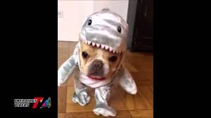 english bulldog halloween costumes dog dresses as jaws for halloween youtube