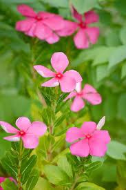 vinca flowers vinca flowers stock image image of cleanness beauty 41790171