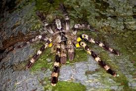 indian ornamental tarantula by kawka redbubble