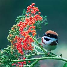 20 best rødkappet halemejse images on pinterest beautiful birds