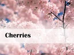 cherry blossom tree facts cherries cherry facts wi ranks 4 cherries grow on trees there are