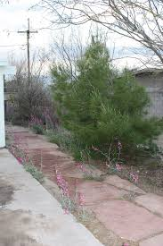 you can grow living christmas trees in your yard gardening with