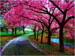 other enchanting pathway sakura cherry blossom japan park path