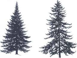 pine tree tattoos collections