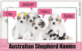 characteristics of a australian shepherd 200 adorably cute names for your australian shepherd puppy