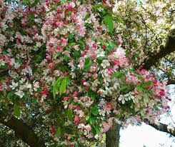 ornamental crab apple trees bestall co