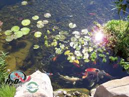 buy koi goldfish u0026 pond fish in lexington kentucky ky h2o designs