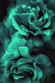 teal roses teal green roses photograph by jennie schell
